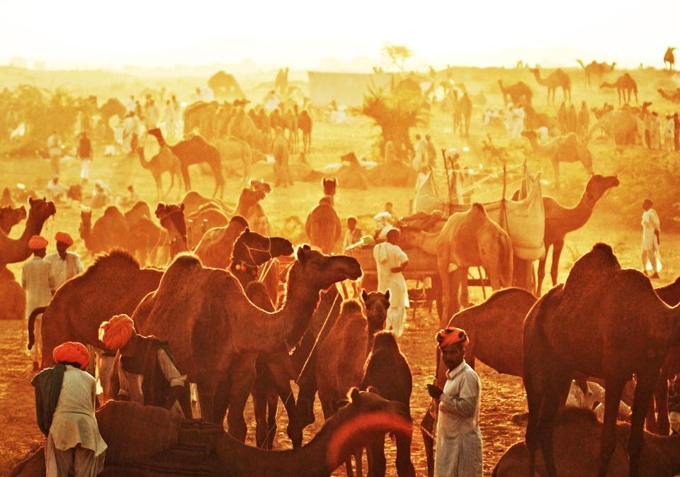 crowds of camels and men in orange turbans at Pushkar Camel Fair