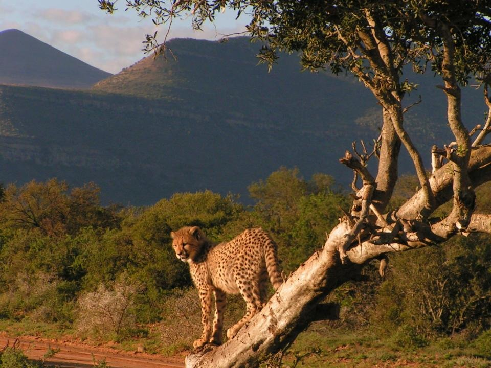cheetah at samara private reserve with trees and mountains