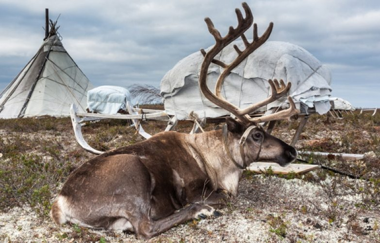 Reindeer resting during Russian Reindeer Herder Expedition