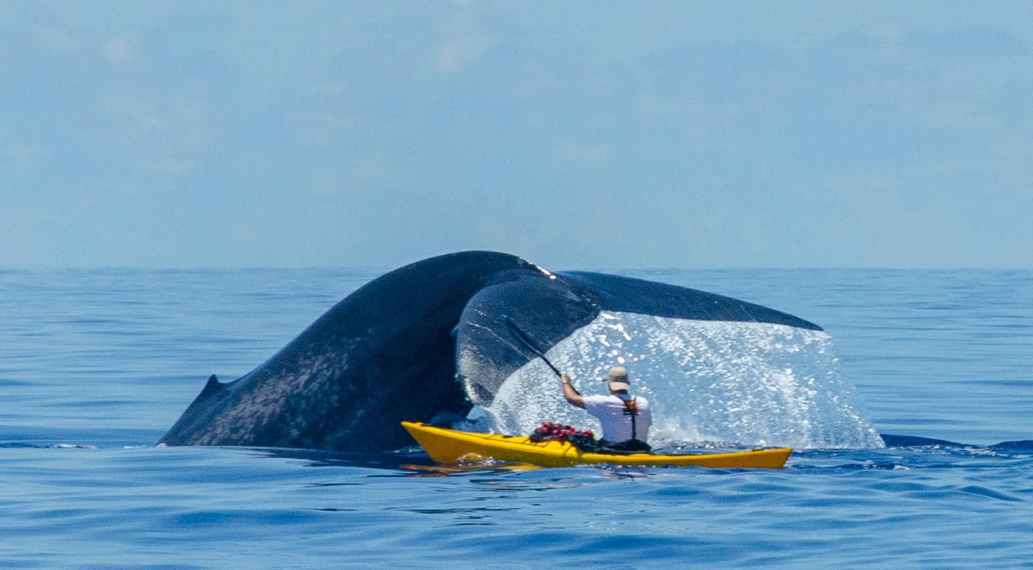 Man in kayak swimming with blue whales