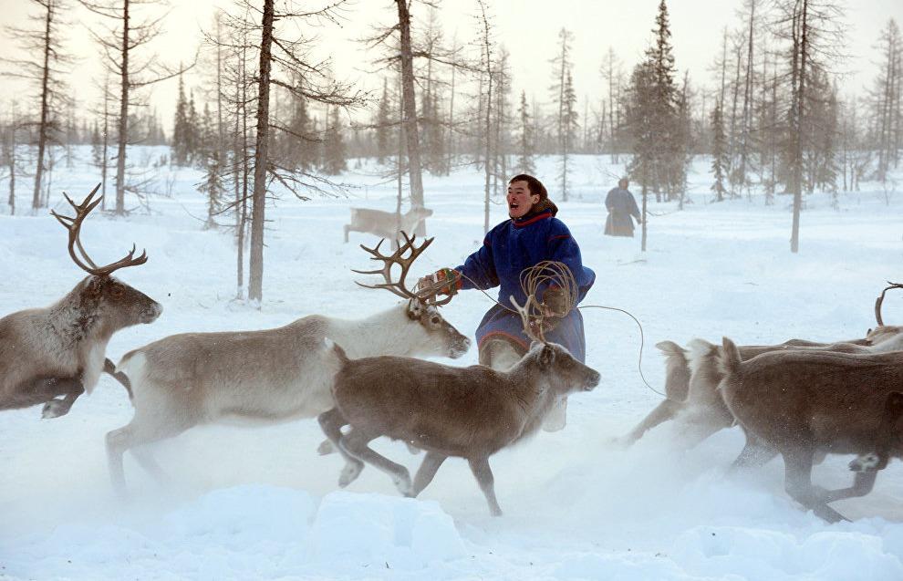 indigenous reindeer herder in Russia