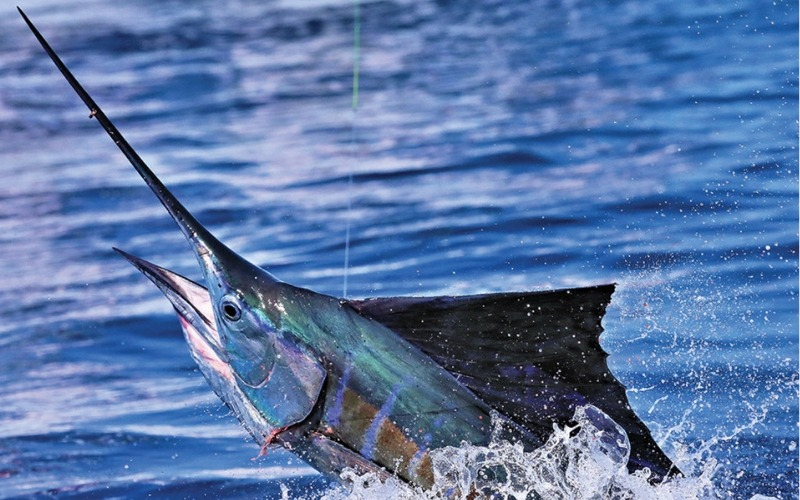 Billfish being pulled out of water as part of Big Game Fishing Guatemala