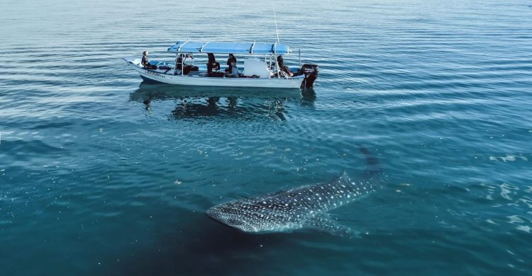 Whale sharks congregate to feed in waters