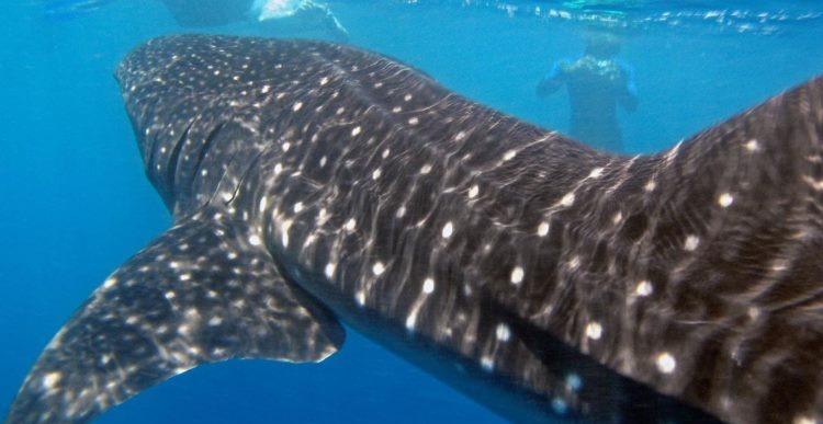 Snorkelers observe a whale shark