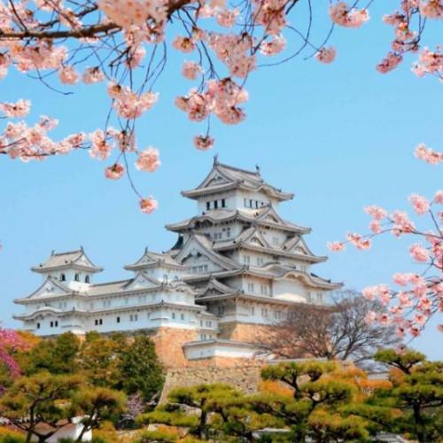Cherry blossom at Japanese Spirits of Japan Tour