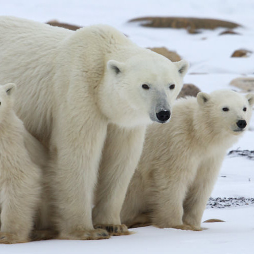 polar bear and cubs at Tundra Lodge Polar Bear Adventure
