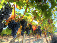 vineyard on a Napa and Sonoma for Connoisseurs Wine Tour