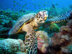 turtle underwater in turquoise ocean - liveabord diving sudan