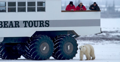 guests watching polar bear walk by tour vehicle at Tundra Lodge Polar Bear Adventure