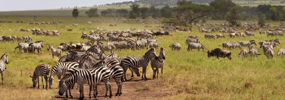 Herd of zebra in Tanzania at African Safari Reserves