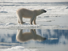 polar bear and reflection in the snow in Spitsbergen