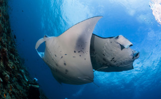 Two manta rays underwater on ocean safari, Mozambique